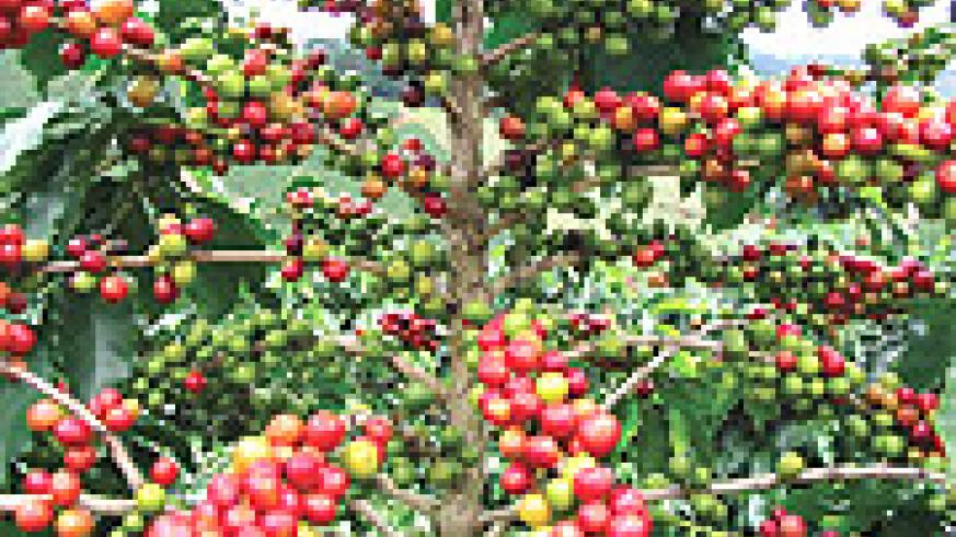 RIPE COFFEE:  Modern farming methods will lead to better yields.