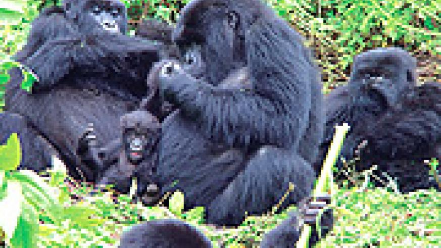 Gorrilla tracking is one of the rare tourism menus offered by Rwanda. (File photo)