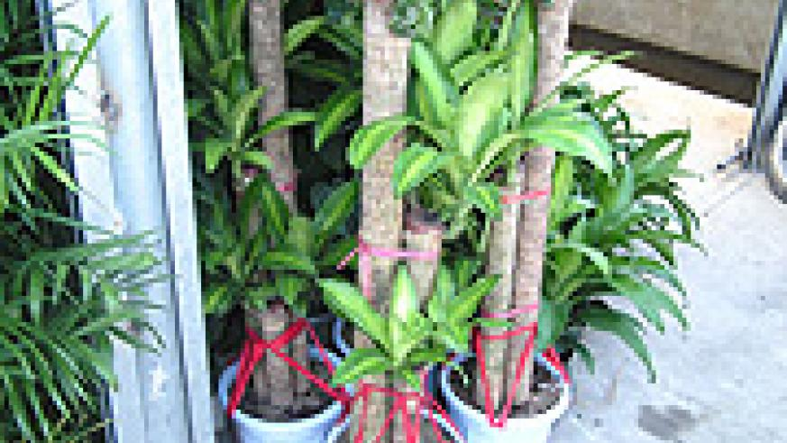 Draceana trees ready for export. (File Photo).