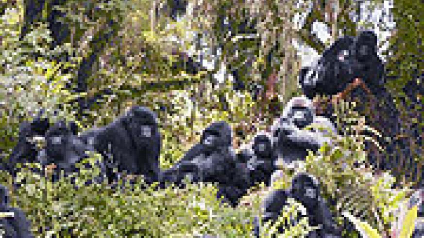 A troop of Mountain Gorillas in the Great Virunga Massif (Courtesy photo)