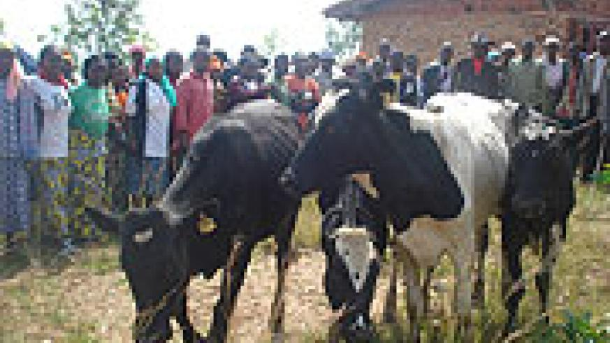 Muhanga residents admire the cows donated under the cattle stocking programme.(File photo)