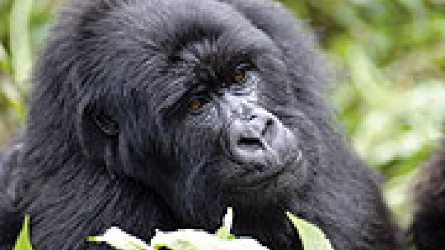 A female GORILLA: Trekking to see her family generates the highest revenue in Rwanda's National Park tourism.