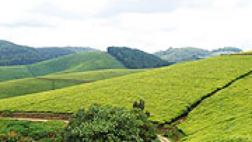 Gisovu tea plantaion: Tea farm gate prices have been kept stable.