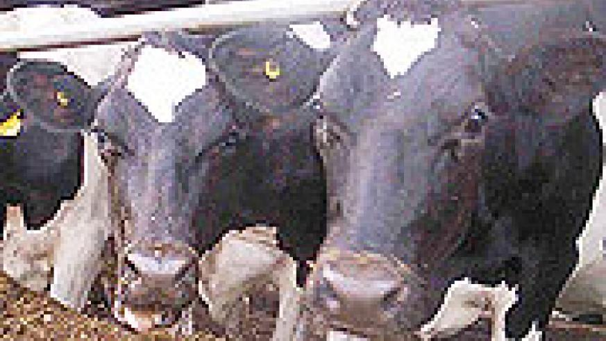 Cattle for milk production(File photo)