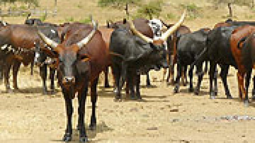 Cross breed cattle donated under the One cow per family program (File photo).