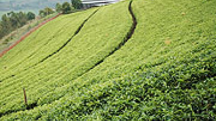 Kitabi tea estate in Nyamagabe District (File photo).