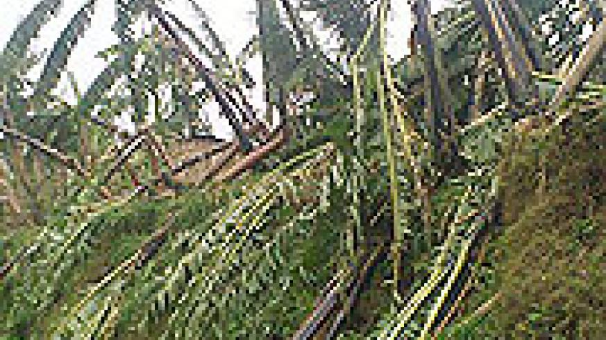 One of the banana plantations that was  brought  down by torrentail rains