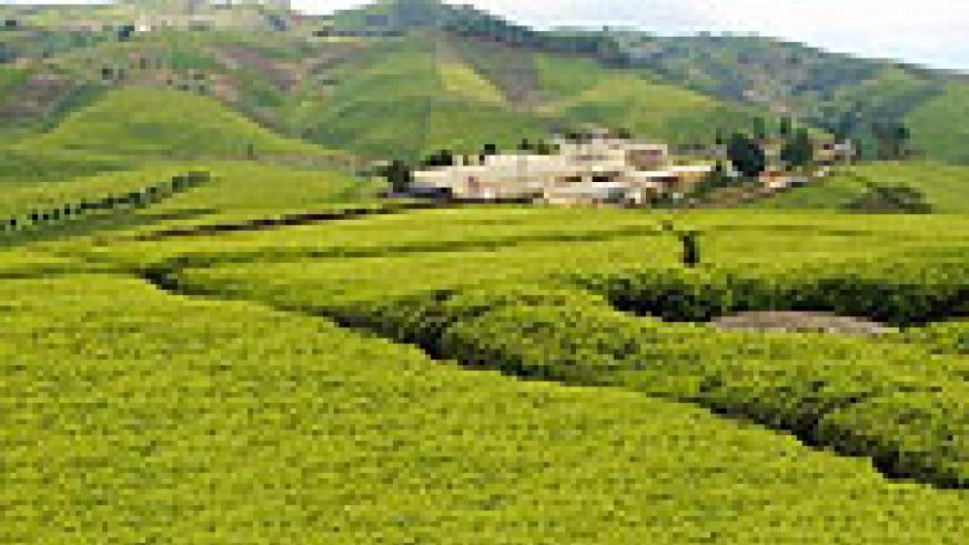 Gisovu tea factory and estate.(File photo)
