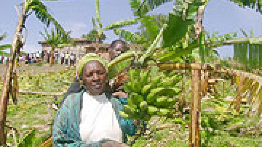 Cesaria Mukangoga displays one of the numerous  banana plants destroyed by local authorities. (Photo/ D.Sabiiti)