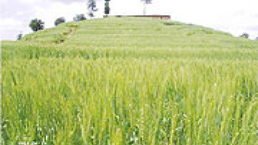 Wheat growing on a consolidated land  in Uwinkingi Sector in Nyamagabe District. (Photo: J.P Bucyensenge)