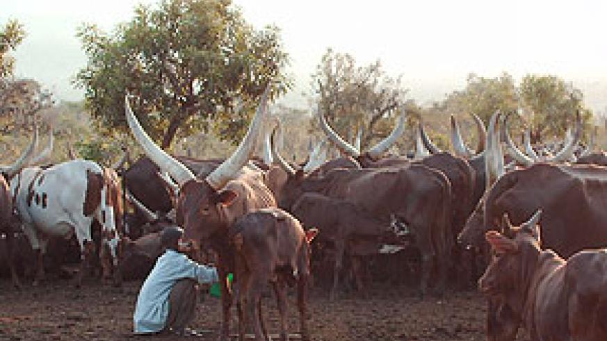 Livestock production usually hit hard during the drought season