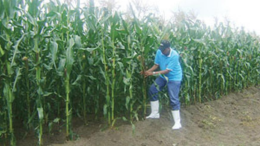 An official from the National Agriculture Research Institute (ISAR) inspects the ISARMO81 maize plantation at Karama research station in Bugesera district, Eastern province.( Photo/ G. Mugoya)