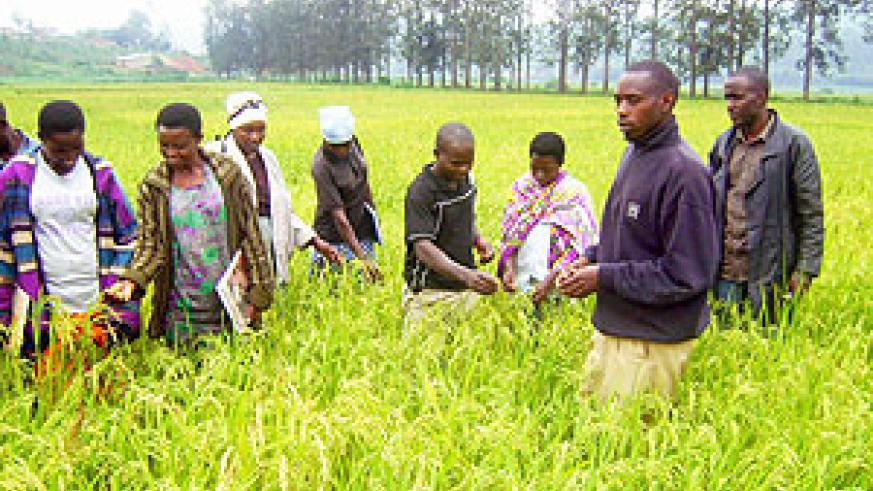Rice cooperative farmers at one of their farms  at Cyaruhogo. (Photo: S. Rwembeho)