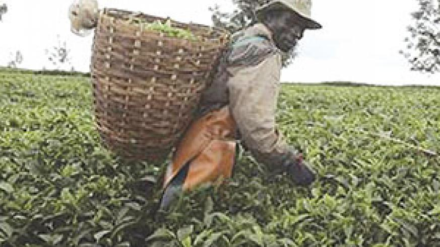 A worker picks tea leaves. (File Photo)