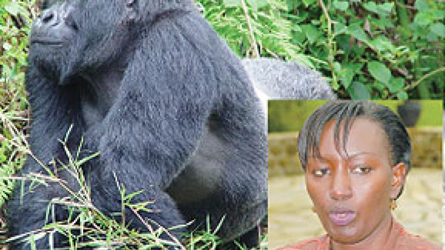 Mountain gorilla's are Rwanda's star tourist attraction. (Inset) Rosette Rugamba Deputy CEO in charge of Tourism and Conservation, RDB