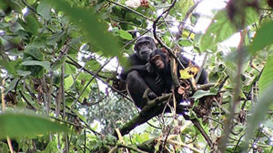 ANOTHER LEASE OF LIFE:  These chimpanzees will benefit from the Giswati reforastation. (Courtesy photo)