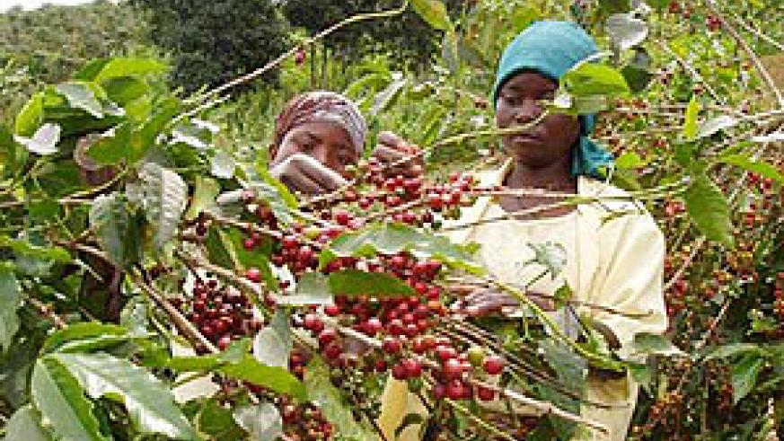 Coffee farming support is one of the gears to economic growth and development. (File photo)
