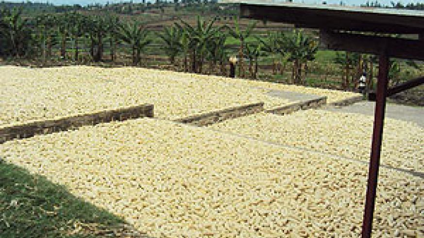 The farmers have been drying their maize on paved ground.