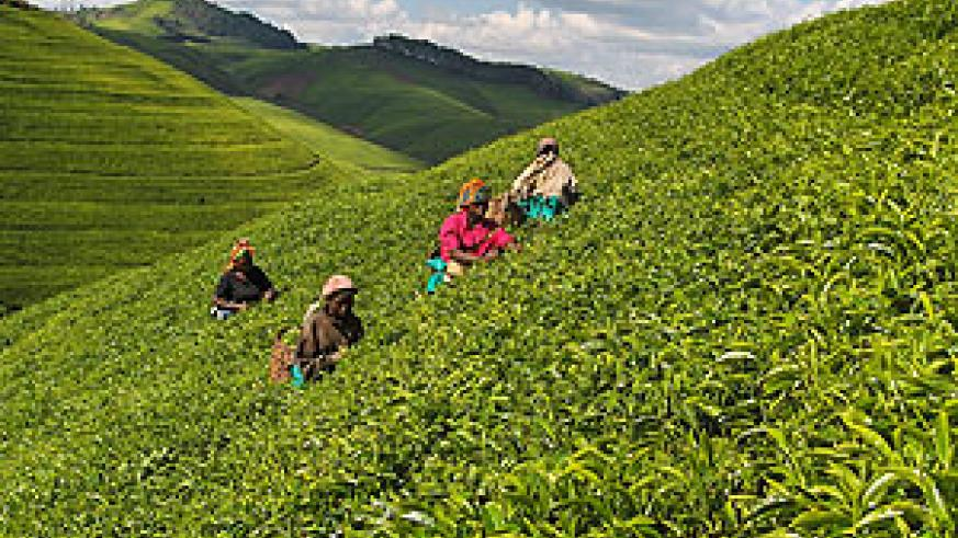 One of the tea plantations in Rwanda: Farmers demand for improved prices on each kilogram of green leaf . (File photo)