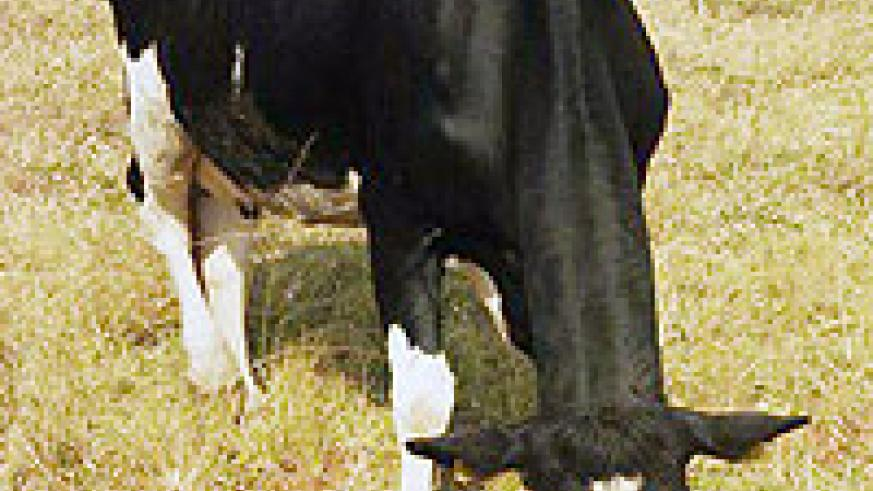 Exotic cows were mostly affected by outbreak of the diseases. (Photo: D. Ngabonziza)