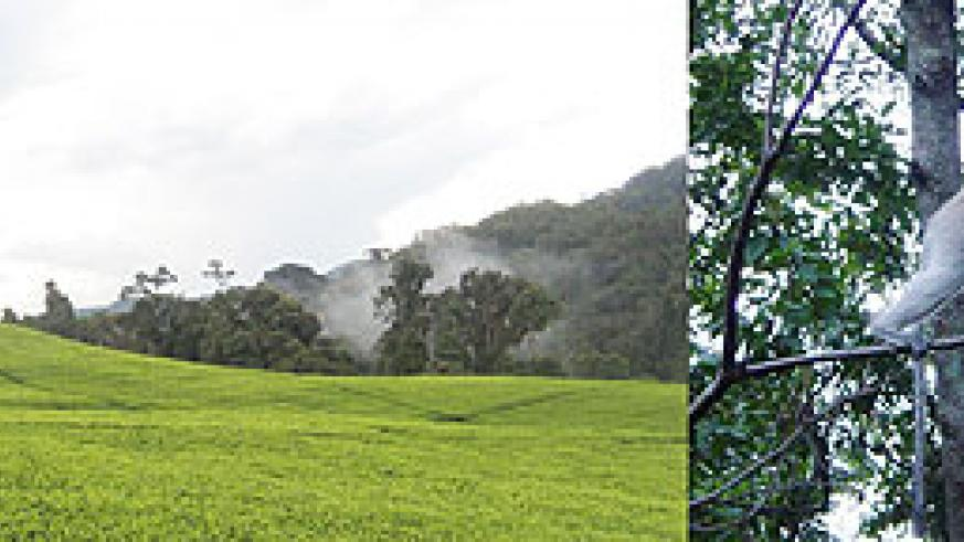L-R : Clouds covering Cyangugu's skies, while a women cultivates in a tea plantation ; Monkeys are a common sight in Nyungwe forest.
