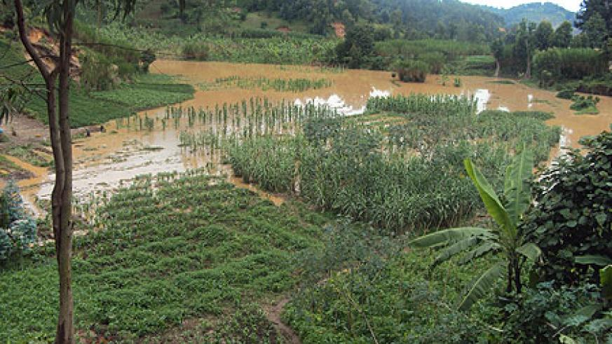 A maize plantation that was devastated by the rains in the Western Province. (Photo / R. Mugabe)