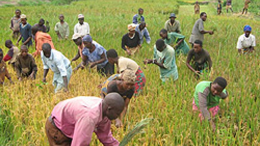 Locals in Kibungo earn living through working onRice paddy. (File photo)