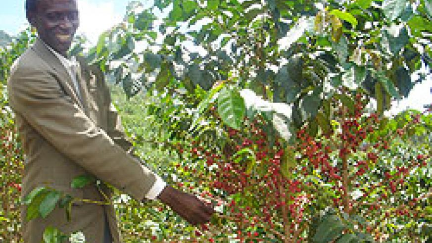 Rwanda projects coffee exports to rise in this year. (File photo)