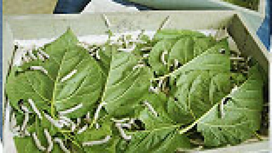 L-R : Mulberry cuttings ; Silk worms feeding on milberry leaves ; Silk yarns produced from coccons ; Silk yarns produced from coccons (File photo)