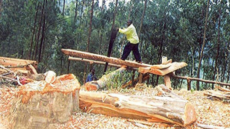 Falling of trees for Timber has contributed to deforestation in some parts of the country. (File photo)