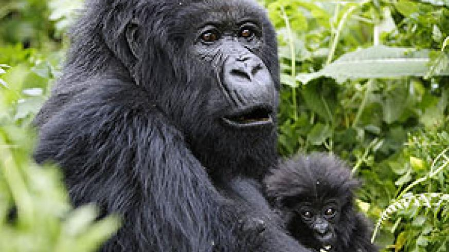 Gorillas are beautiful and deserve our protection.