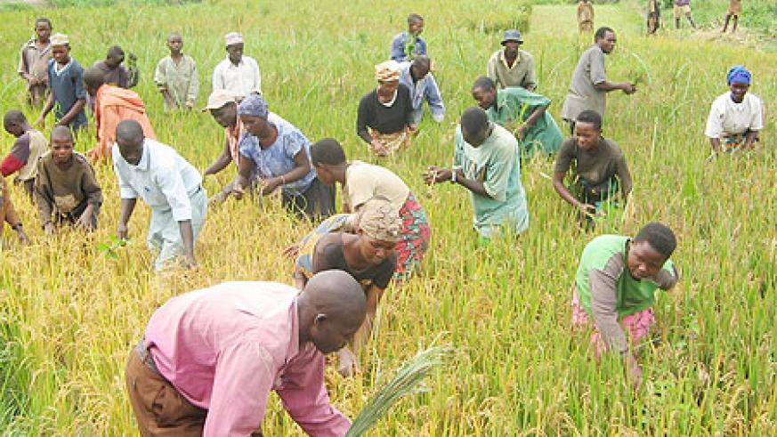 People harvesting rice (File Photo)