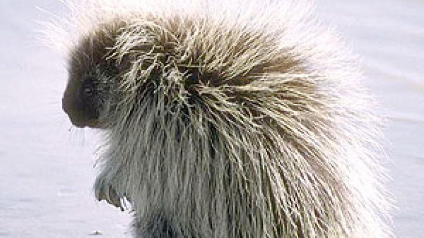 Porcupines can sometimes get nasty with their spikes