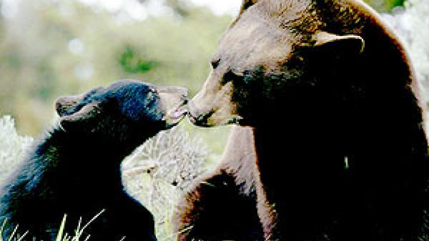 Mother black bears are notoriously protective of their cubs, who stay with their mothers for about two years.