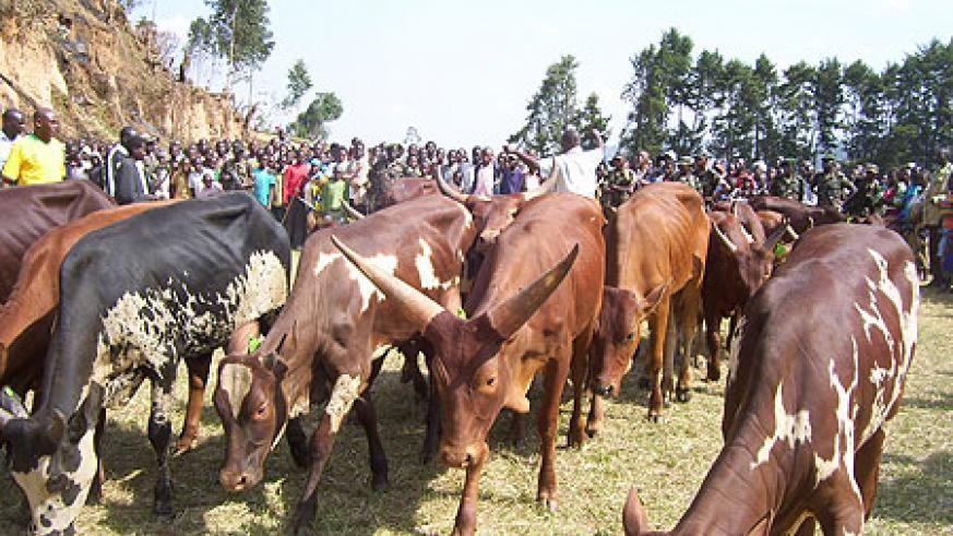 Residents admire cows donated by RDF at Mulindi playground (Photo: A.Gahene)