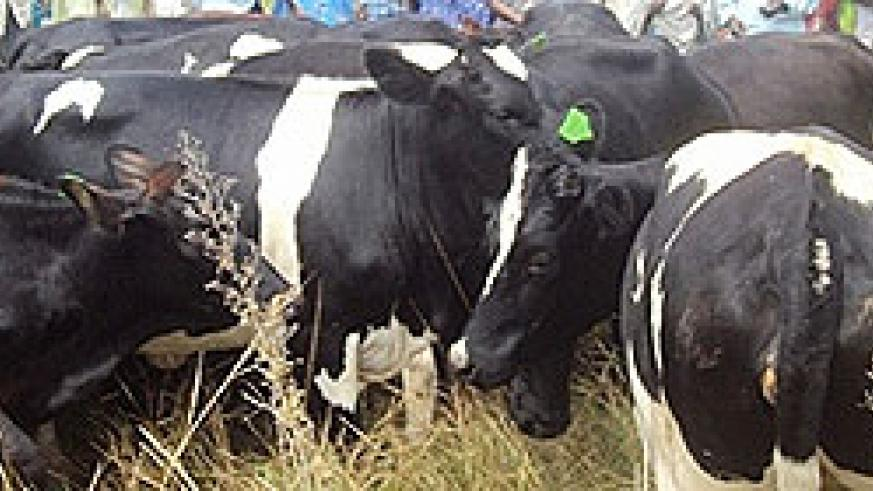 Some of the crossbreeds bought by Karama residents.Photo.D Ngabonziza