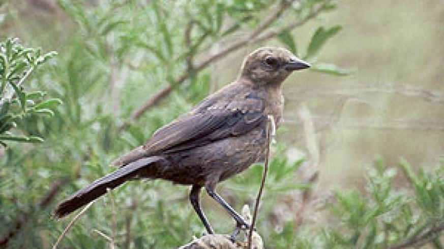 A Cowbird resting in the green