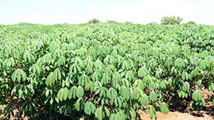 A mordern cassava plantation in Bugesera District. Researchers are set to embark on a study in an effort to ensure food security in the country (File Photo)