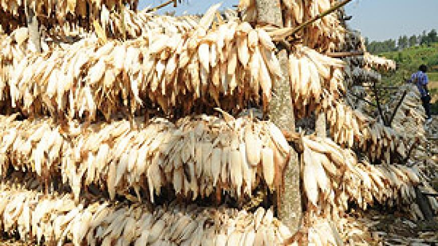 The price of maize has reduced from Rwf250 to Rwf80 within a year (File photo)