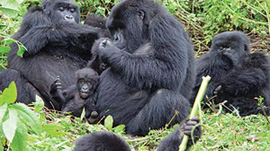 Revenue from Gorilla tourism has been injected into local communities in Musanze