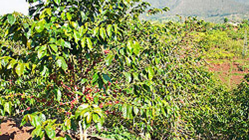 Coffee plantation (File photo)