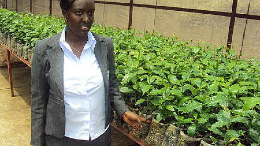 Researcher Esperance Munganyika of ISAR showing the improved  coffee seedlings that were produced from the tissue culturing .(Photo by JP Bucyensenge)