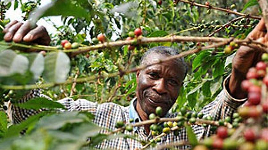 A farmer picks coffee bean. Better varieties will be available to them through ISAR research.