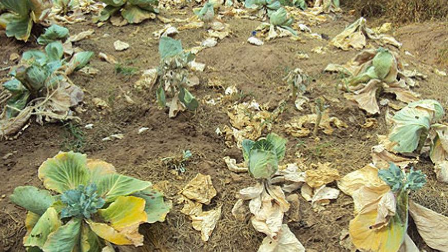 Some of the food crops affected by the dry spell (photo D.Sabiiti)