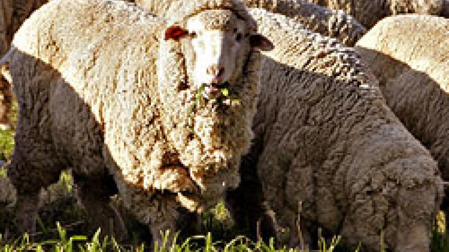 The government has announced that plans are underway to extensively produce wool in the country