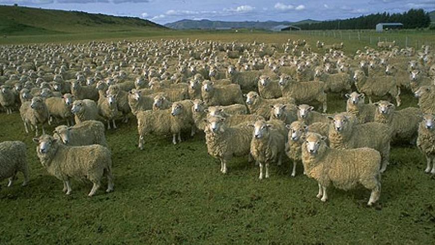 Sheep husbandry is an expensive business