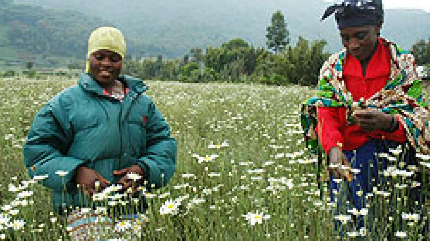 Women in a pyrethrum farm. (File photo)