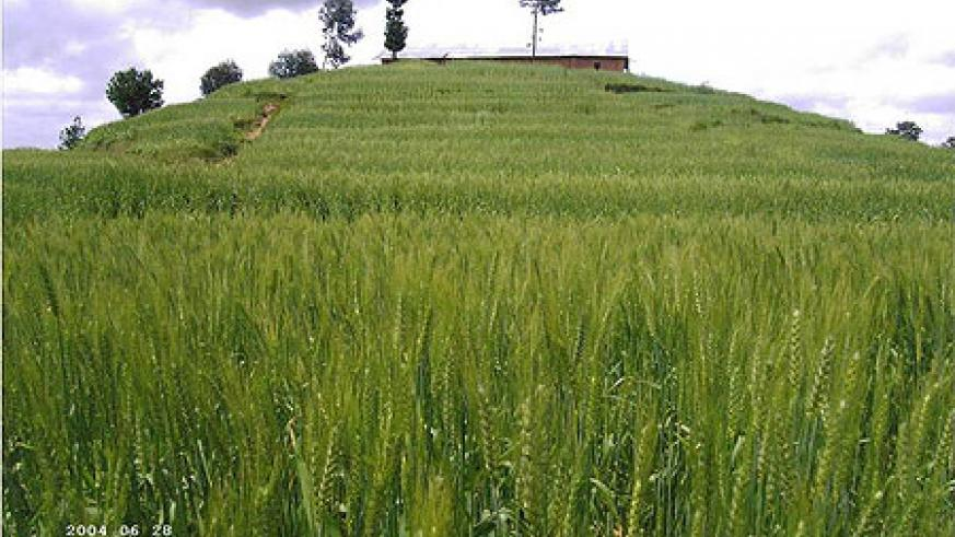 A Wheat farm in Uwinkingi Sector, farmers have no where to sell their produce (File photo)