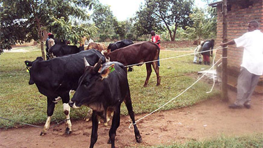 Beneficiaries of the one  cow per family receiving the their donations. Photo S. Rwembeho