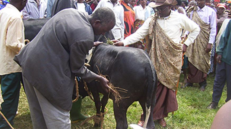 A beneficiary admires a Calf donated to him yesterday (Photo by A.Gahene)